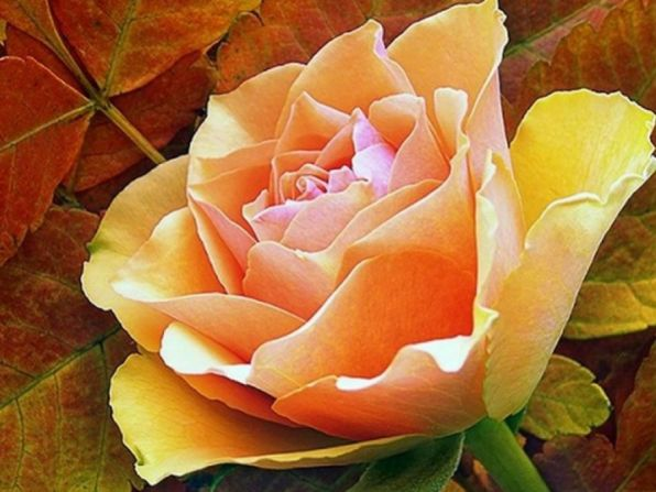 Афанасий Афанасьевич Фет Сентябрьская роза За вздохом утренним мороза, Румянец уст приотворя, Как странно улыбнулась роза В день быстролетней сентября!