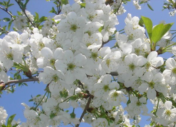 Афанасий Фет ~ Сад весь в цвету…