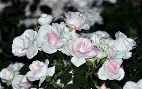 Эдуард Асадов Белые розы Сентябрь. Седьмое число — День моего рождения, Небо с утра занесло, А в доме, всем тучам назло, Вешнее настроение!
