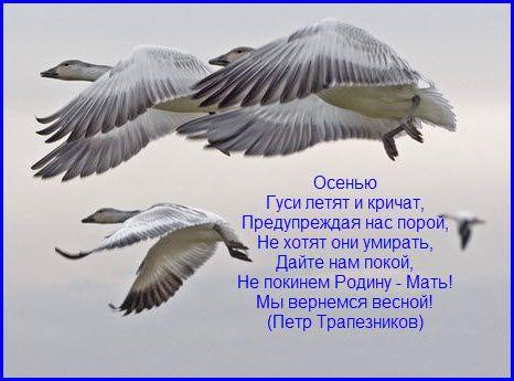 Почему последними на юг улетают гуси и утки