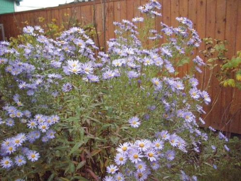 фото цветы сентябринки:
